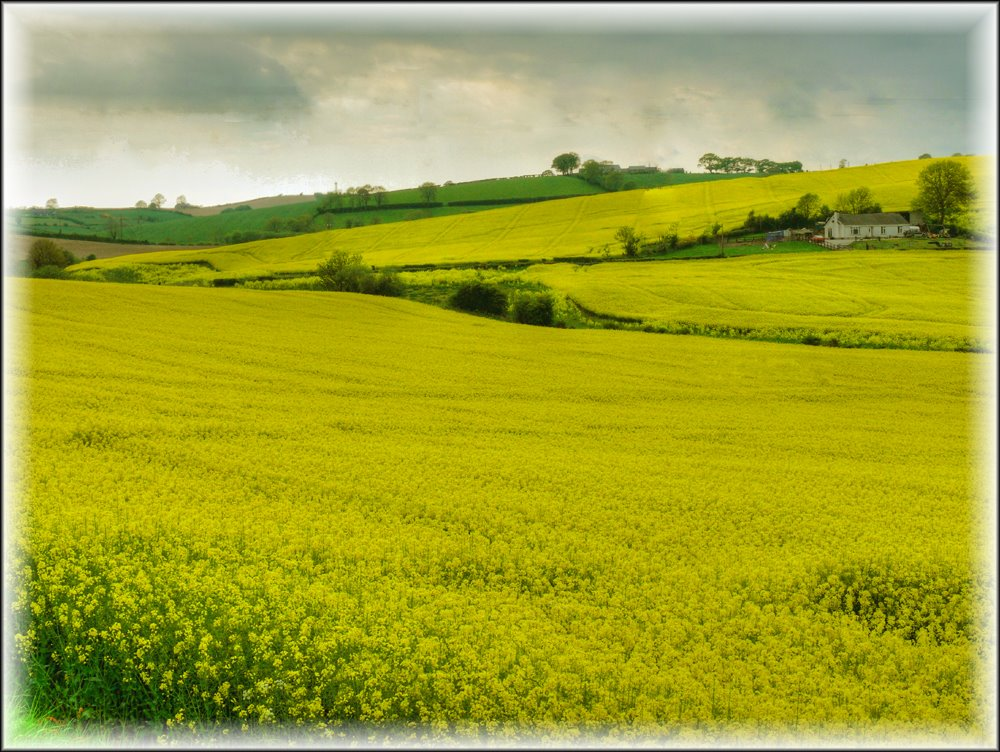 Oil seed rape in Co Armagh