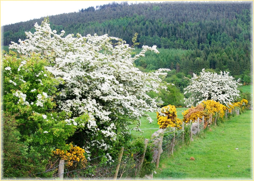 Hawthorn Hedgerows