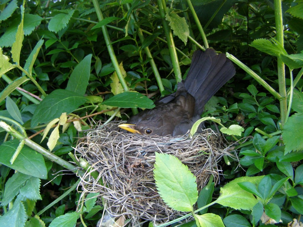 Blackbird  on nest, in the hedge in our garden