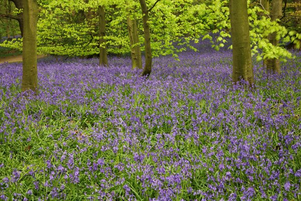 Bluebells Middleton Wood