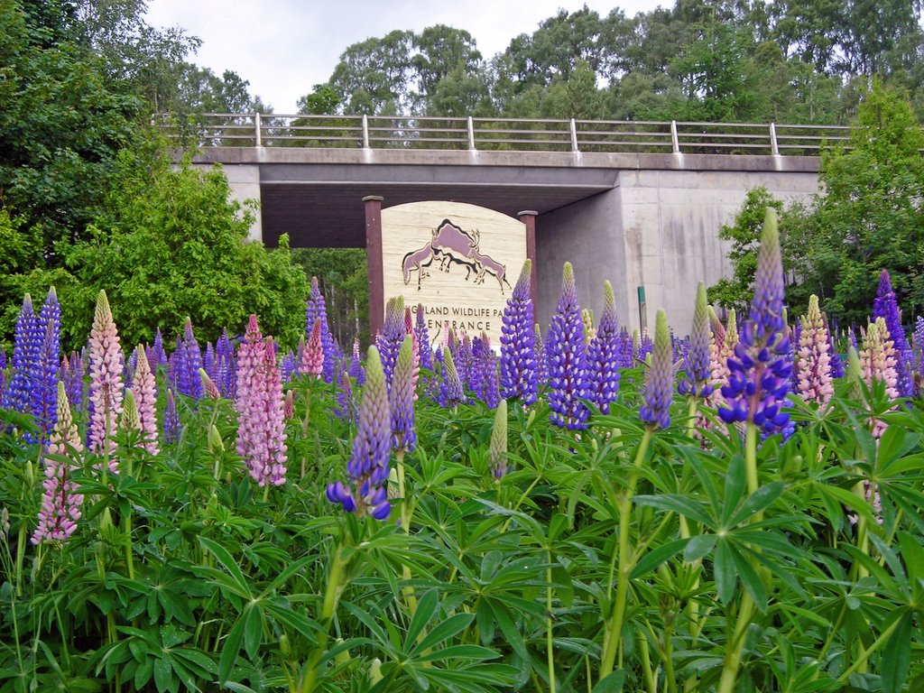 Lupins Everywhere