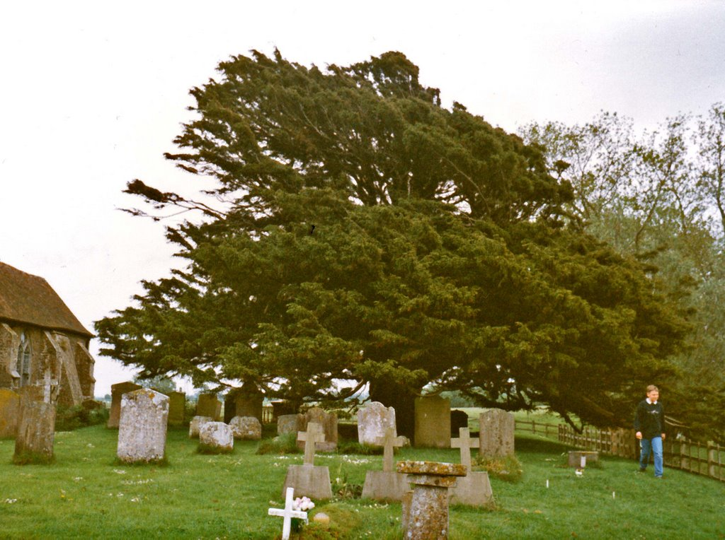 Yew at Old Romney Church (UK)  (DETAILS: SEE COMMENTS)