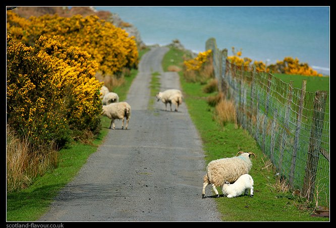 Scottish sheep and lambs in rural Scotland