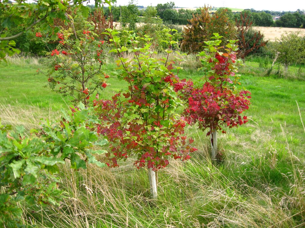 Guelder rose tree, part of the plantation of the new National Forest near The Buildings Farm
