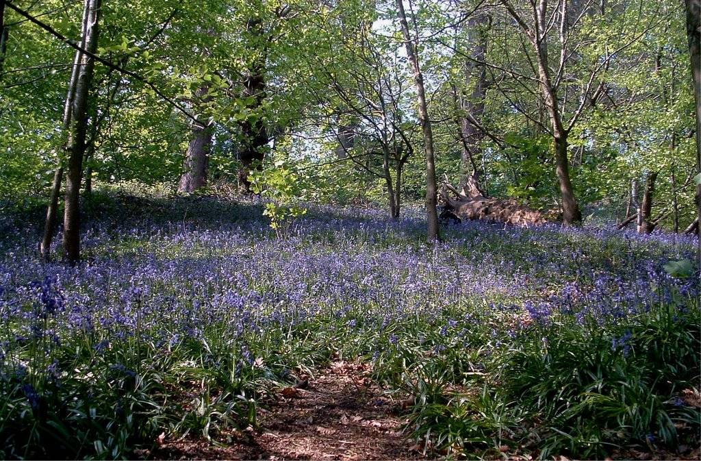 Bluebells, Vale Royal Woods, Northwich