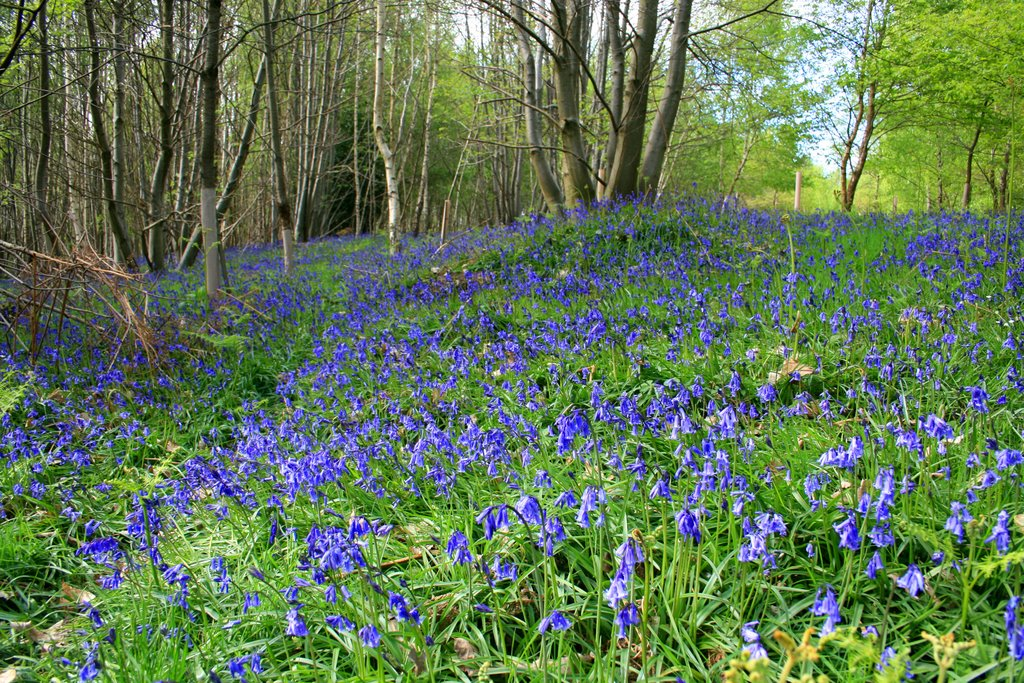 Bluebells in Ufton Woods, late April
