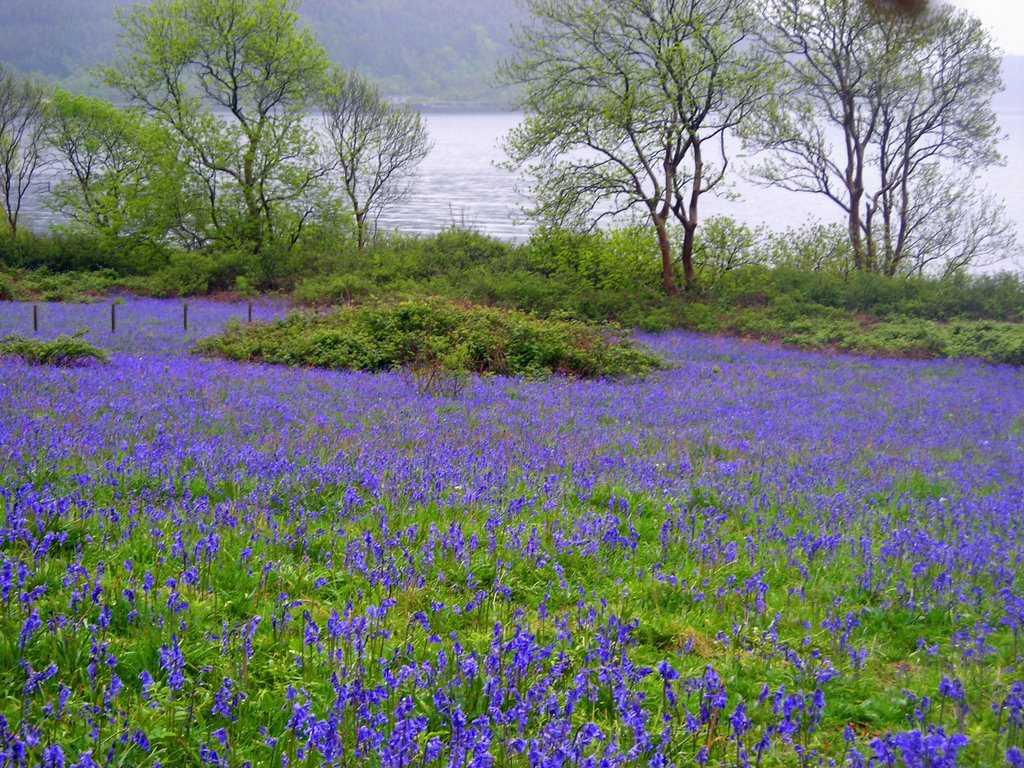 Bluebells at Loch Linnhe