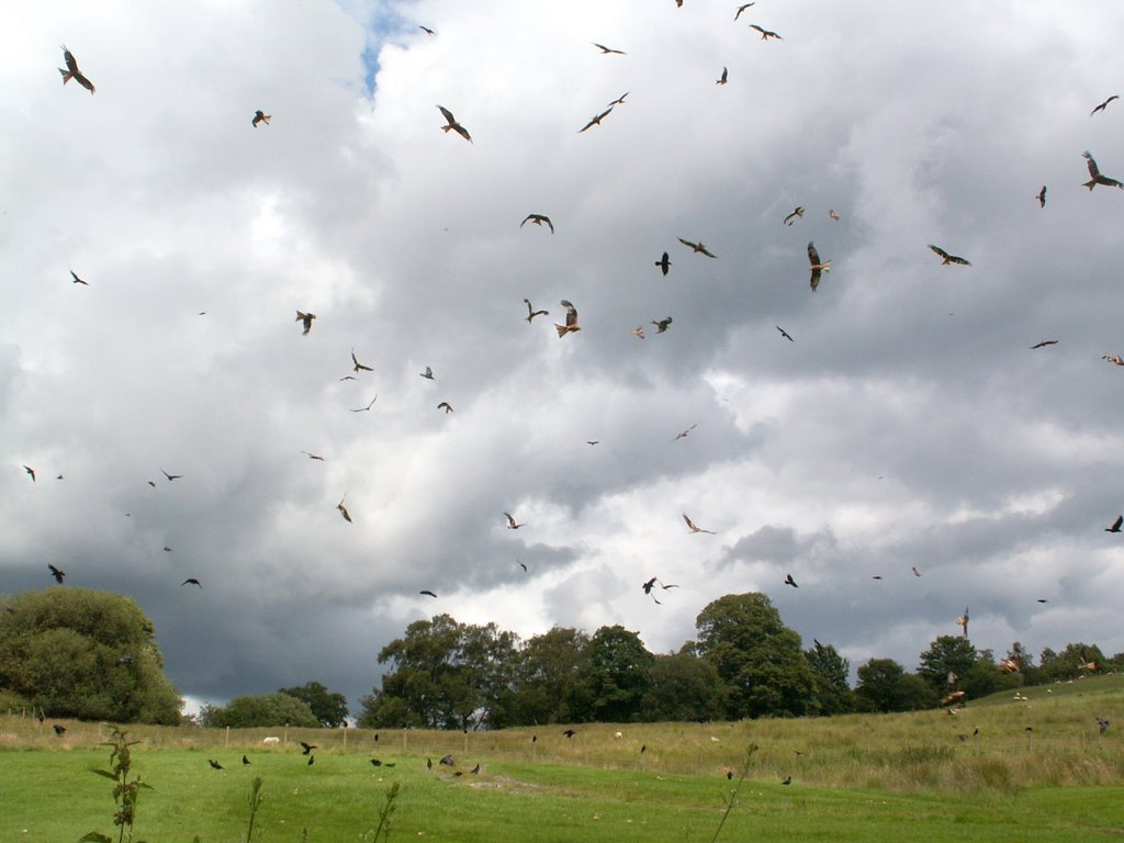 Red kites waiting for food at Gigrin farm
