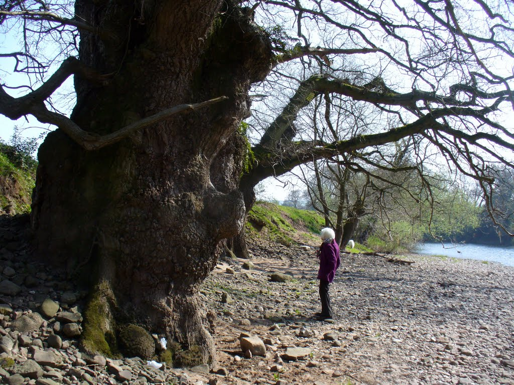 A Very Old Oak Tree being Admired
