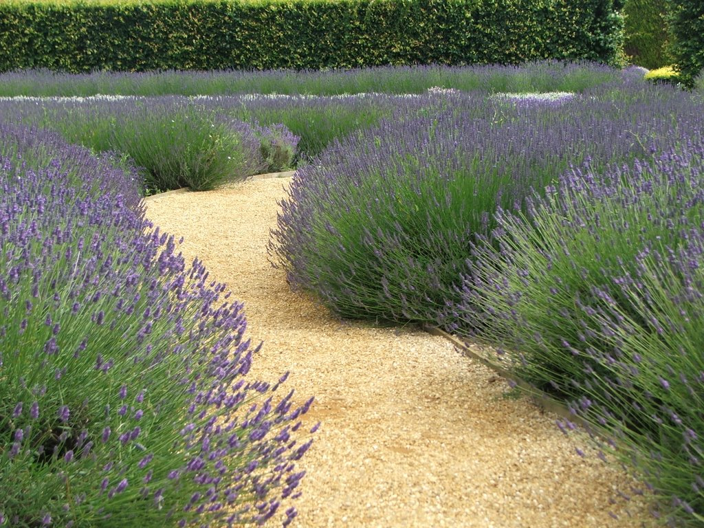 Scented path, Norfolk Lavender, Heacham