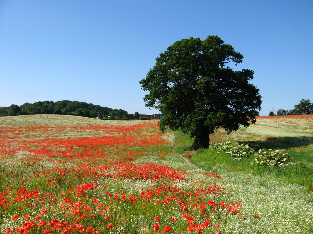 Poppy field near B4718