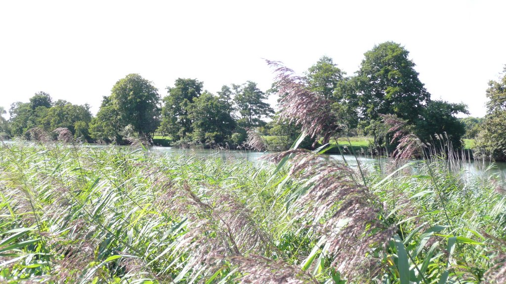 Grasses on the Thames near Abingdon