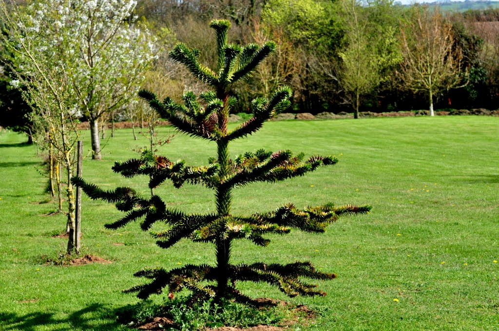 Araukaria chilijska. The Monkey-puzzle Tree. (Araucaria araucana)