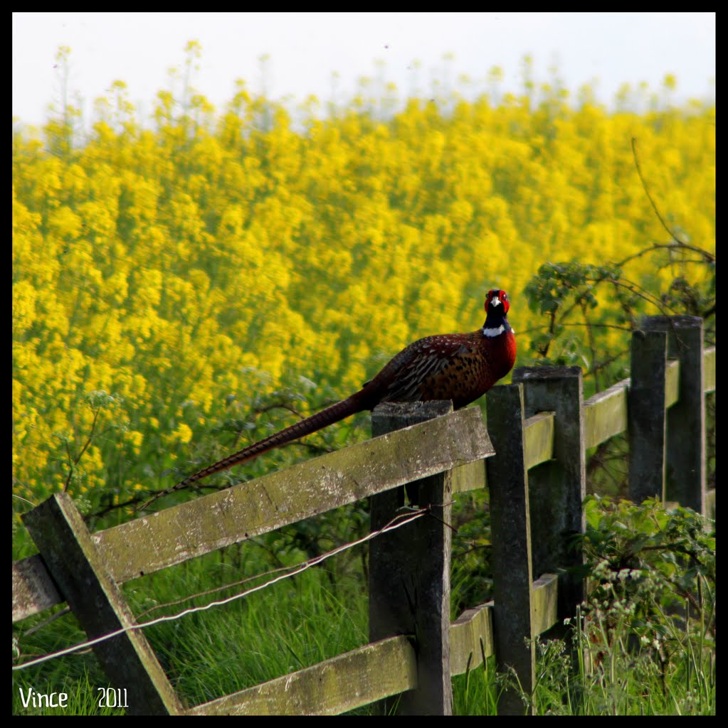 Pheasant sitting on the fence