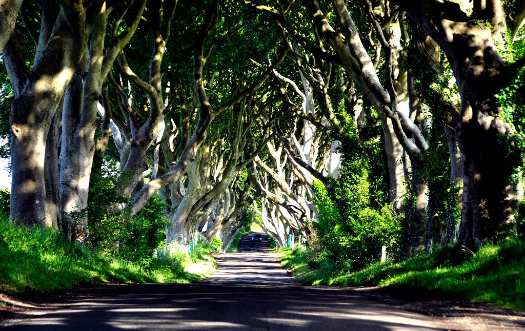 Northern Ireland. Ballymoney. The dark hedges lane. View to south. Landscaped.