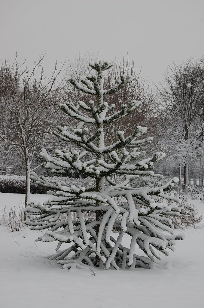 Snow over Monkey Puzzle tree